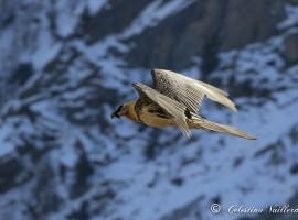 Il gipeto nella Valle di Cogne - foto di Celestino Vuillermoz